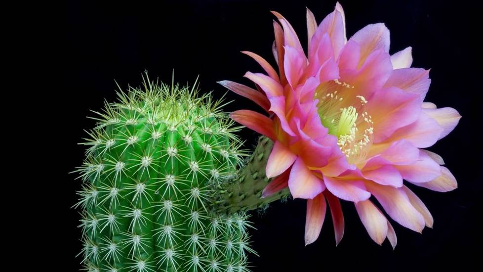 Timelapse 15 loài hoa xương rồng nở rộ trong 1 đêm