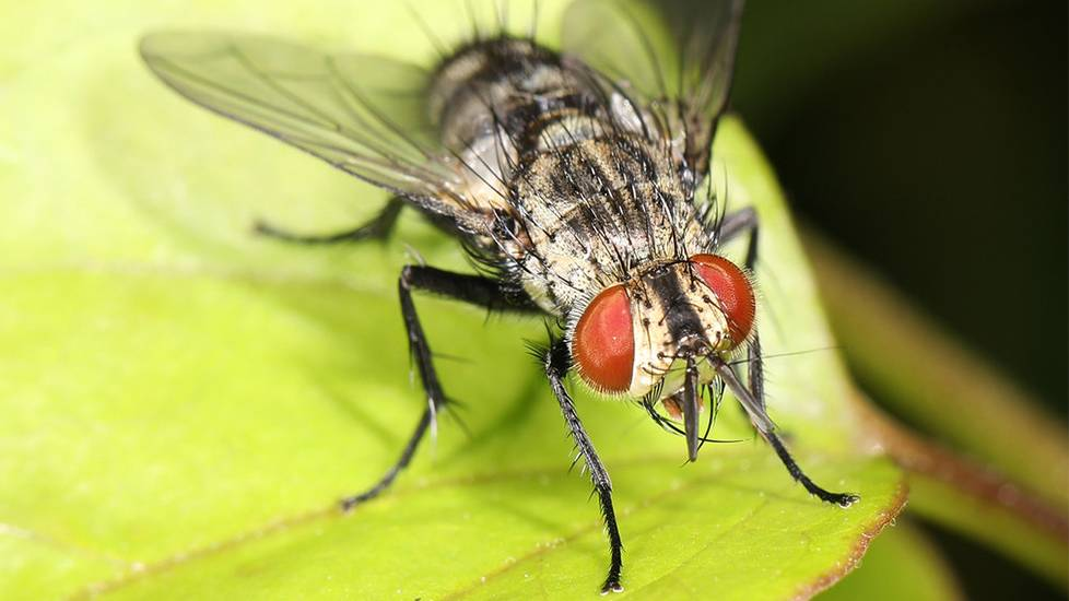 Sởn da gà xem ruồi Tachinid đẻ trứng vào sâu bướm Datana