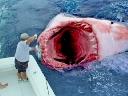 Tay không 'vuốt răng' cá mập trắng giữa biển
