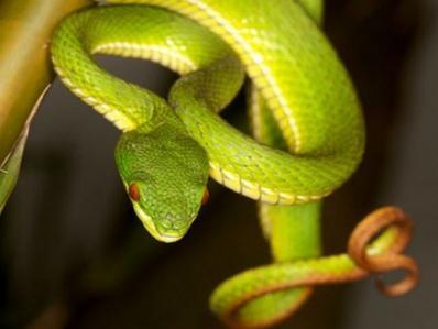 Đà Nẵng: Săn đuổi rắn lục đuôi đỏ