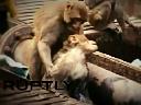 Cảm động cảnh khỉ cấp cứu bạn bị điện giật
