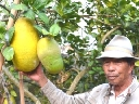 Cận cảnh ''chanh tiến vua'' khổng lồ nặng gần 7kg ở Đà Lạt