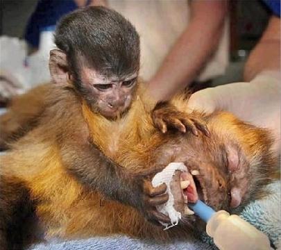 Cảm động cảnh khỉ con ôm lấy xác mẹ trước lúc chia ly