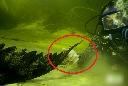 Liều chết tóm đuôi cá sấu 'khủng' dưới lòng sông