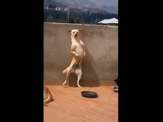 Chết cười với chú chó đứng hai chân nhảy như người