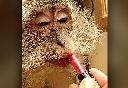 Chú khỉ thích trang điểm, mặc váy gây sốt cộng đồng mạng