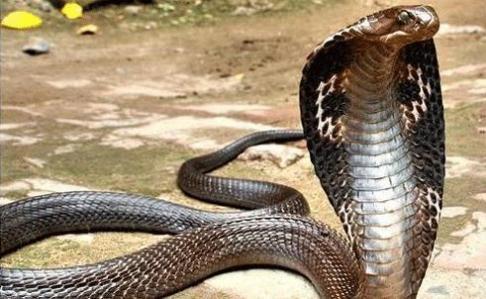 Cận cảnh bắt 2 con rắn hổ mang nặng 1kg ở Vĩnh Phúc