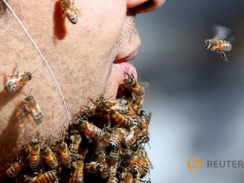 Nuôi râu bằng cách dụ ong đến đậu vào