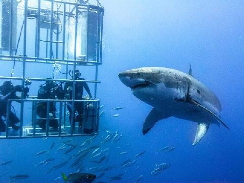 Mắc kẹt trong 'lồng tử thần' khi ngắm cá mập