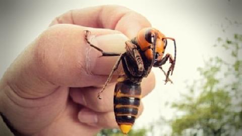 Mải nói, bị ong bắp cày bay vào miệng...