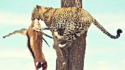 Sư tử leo cây đoạt mồi báo đốm