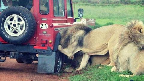 Tài xế 'méo mặt' vì sư tử gặm lốp ôtô!
