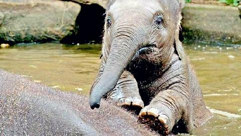 Voi lớn lao xuống hồ cứu voi con đuối nước
