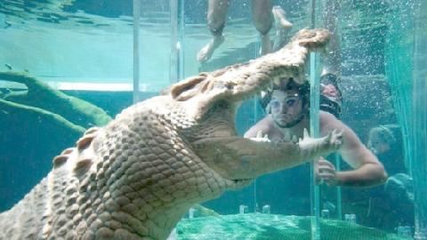 Liều lĩnh bơi giữa bầy 20 con cá sấu