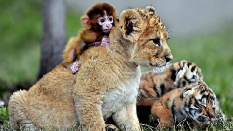 Tình bạn không tưởng giữa khỉ, hổ và chó nhà