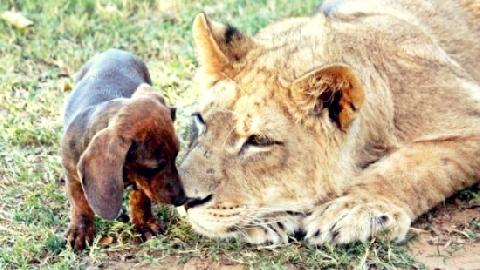 Tình bạn 5 năm giữa chó và sư tử