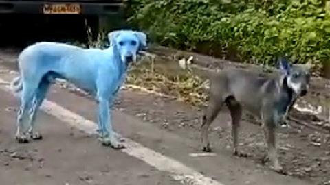Chó lông xanh xuất hiện gây kinh sợ ở Ấn Độ