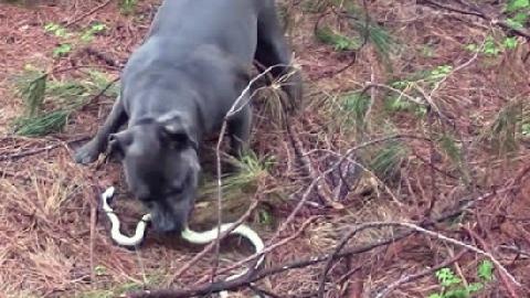 Chó Pitbull giết rắn độc, bảo vệ 2 em nhỏ