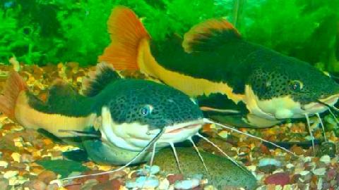 Nông dân nuôi 'thủy quái' Amazon giữa sông Hậu