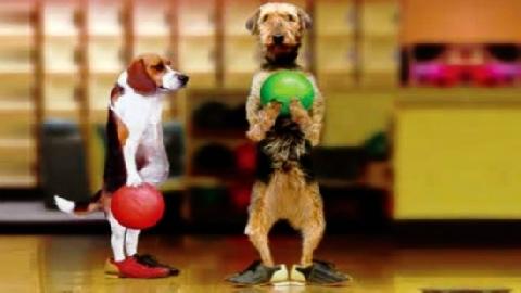 Chú chó có biệt tài chơi Bowling