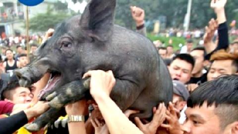 Cười lăn với lễ hội bắt lợn Ông Cầu