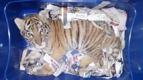 Chó nghiệp vụ giải cứu hổ con gửi chuyển phát nhanh