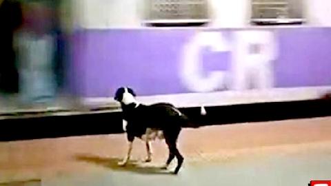 Chó đứng đợi tàu mỗi đêm nghi để tìm chủ