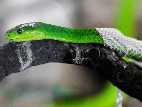 Lễ trưởng thành bằng màn lột da của loài rắn độc nhất châu Phi