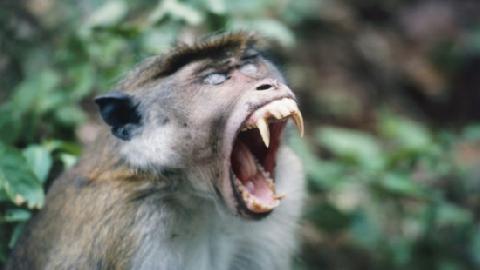 Ấn Độ: Cả làng bỏ chạy vì bị khỉ dữ tấn công