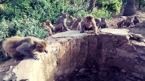 Báo rơi xuống giếng sâu 8m, may mắn thoát chết nhờ đàn khỉ thông minh