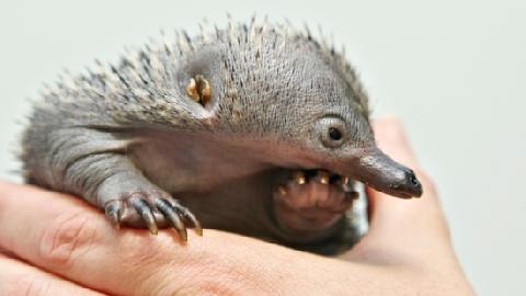 Những loài động vật nguy hiểm chỉ có ở Australia