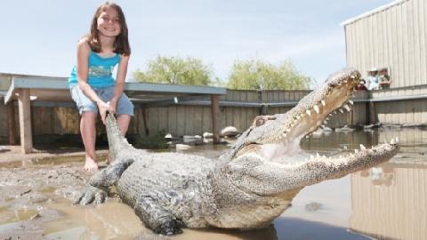 Cô gái lội xuống đầm nước dẫn dụ cá sấu khổng lồ lên bờ