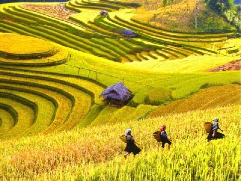 Sapa trải thảm vàng trong mùa lúa chín