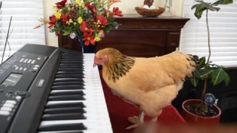 Gà mái chơi piano điêu luyện bản