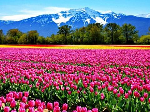 Trên cánh đồng hoa tulip