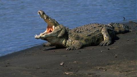 Giải sầu bằng cách... kéo đuôi cá sấu