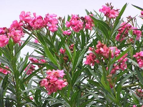7 loại cây cảnh độc hại mà bạn không nên trồng