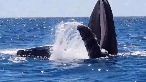 Kinh ngạc cảnh Cá voi há miệng 90° ở Australia