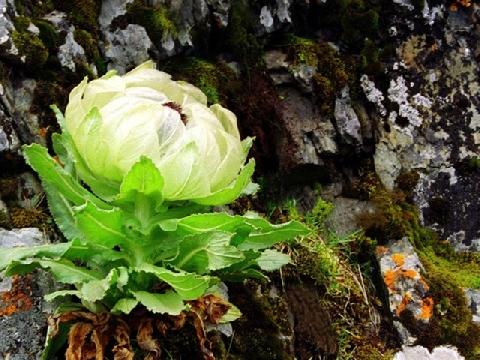 Thiên sơn tuyết liên - loài hoa cải tử hoàn đồng bước ra từ tiểu thuyết Kim Dung
