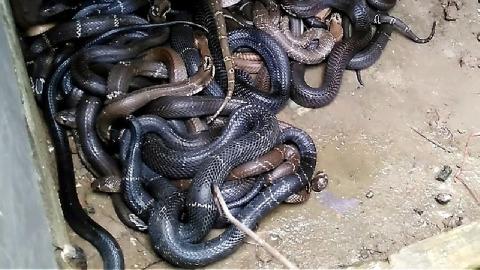 Nuôi rắn hổ mang cực độc kiếm trăm triệu mỗi năm