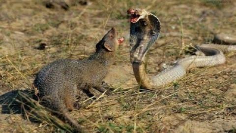 Rắn hổ mang: Kẻ thù không đội trời chung của cầy Man gút