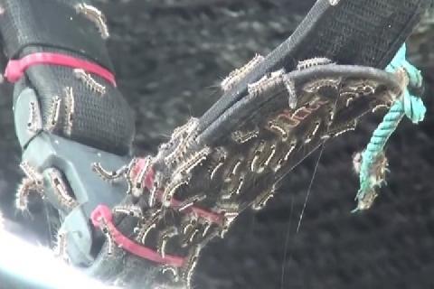 Hàng nghìn con sâu bướm xâm chiếm ngôi làng Thái Lan