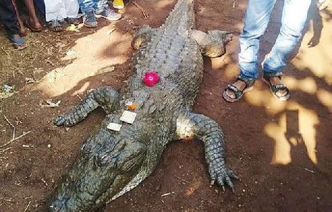 Ấn Độ: cả làng bỏ ăn khóc thương con cá sấu 130 tuổi chết già
