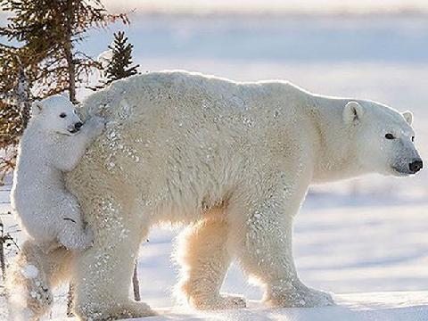 Gấu Bắc Cực ''xâm chiếm'' cả quần đảo của Nga