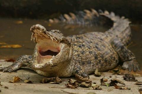 Shock nặng cảnh Cua tấn công Cá sấu
