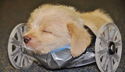Chú chó bị dị tật vẫn sống hạnh phúc hiếm thấy