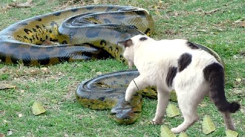 Trăn mò vào tổ, mèo mẹ kiên cường đánh trả để cứu con