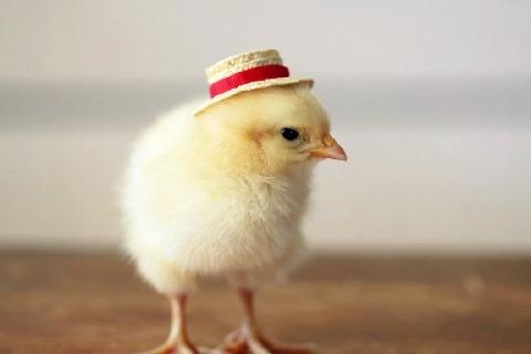 Bạn sẽ không dám ăn thịt lũ gà này!!!
