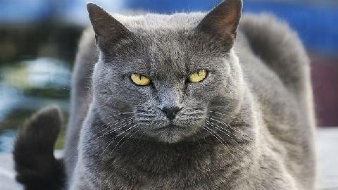 Con mèo chuyên vồ chó và đàn ông, hiền lành với phụ nữ, trẻ em