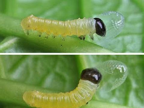Ăn sống ấu trùng sâu bướm
